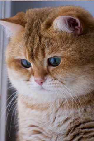胖乎乎可爱的小橘猫手机壁纸