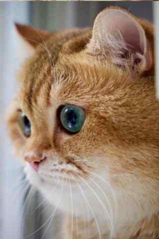 软萌可爱的橘猫手