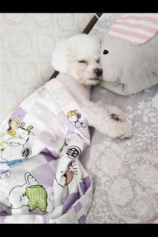 可爱睡觉的比熊手