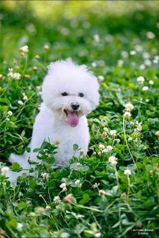在草地上奔跑的比熊犬手机壁纸