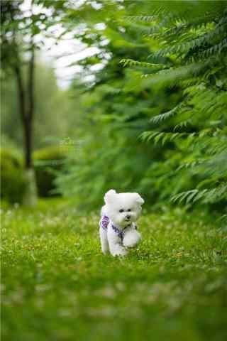 绿草地上奔跑的比熊手机壁纸
