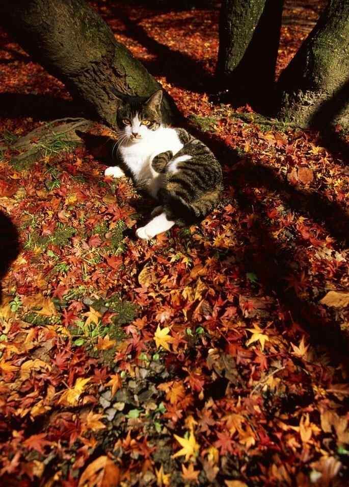 在落叶上打滚的猫咪手机壁纸