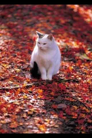 可爱乖巧的猫咪手机壁纸