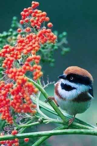 可爱的小鸟与果子手机壁纸