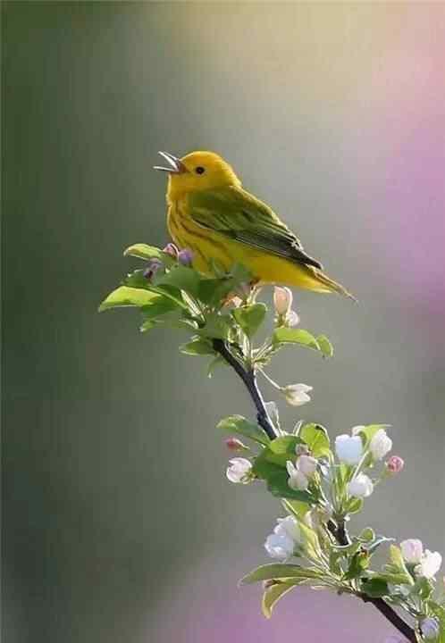 可爱的唱歌的小鸟手机壁纸