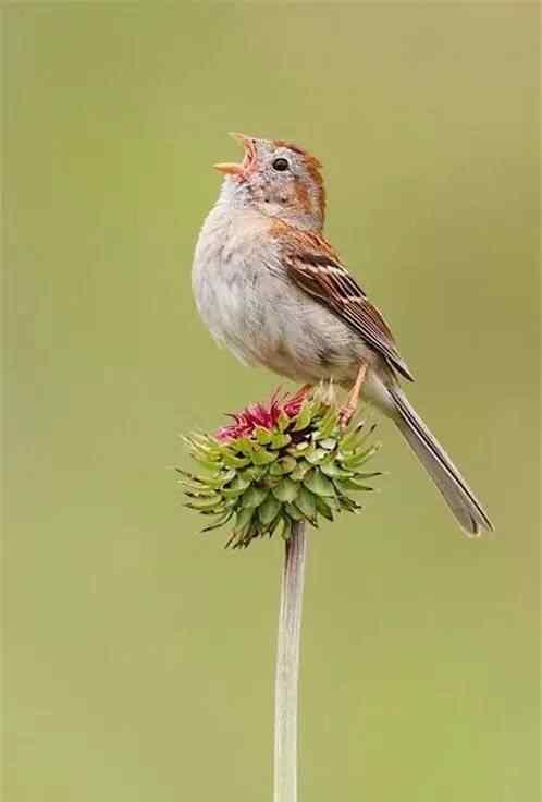 大自然的歌唱家之小鸟手机壁纸