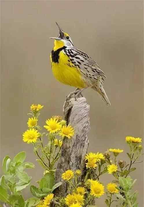 美丽的黄色小鸟手机壁纸