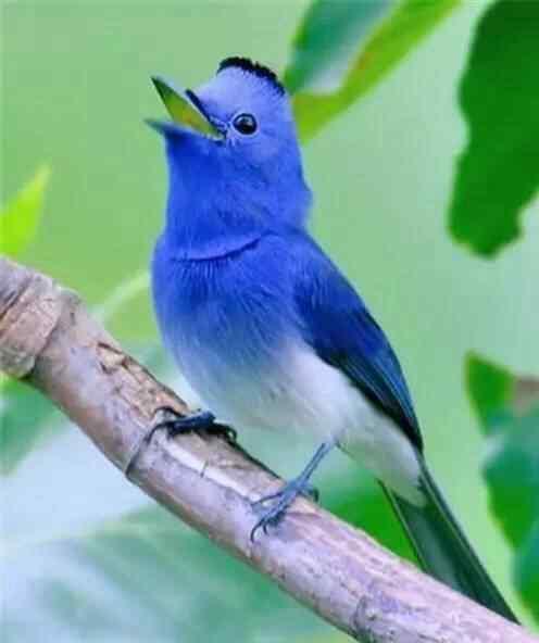 可爱蓝色小鸟手机壁纸