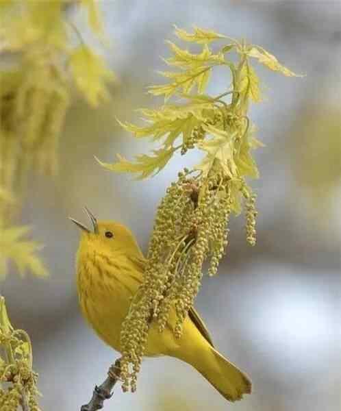 可爱的歌唱家之小鸟手机壁纸