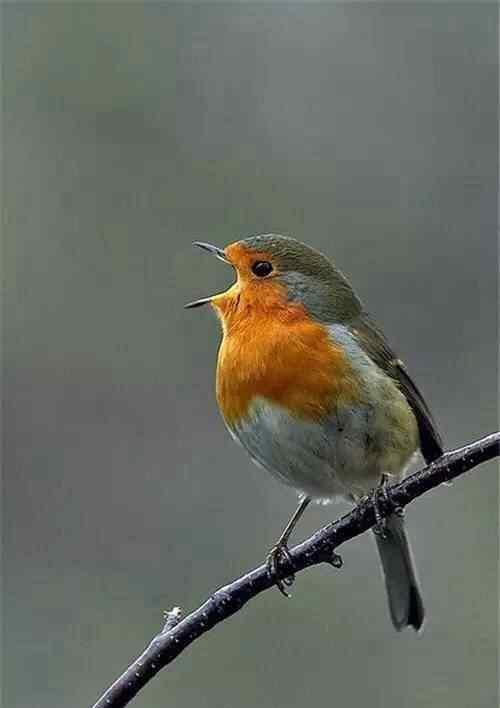 圆滚滚可爱的小鸟手机壁纸
