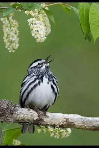 萌萌的唱歌的小鸟