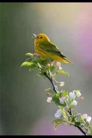 可爱的唱歌的小鸟