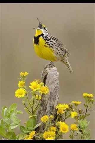 美丽的黄色小鸟手