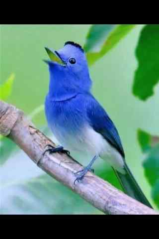 可爱蓝色小鸟手机