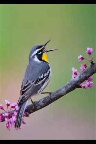 可爱的小鸟歌唱手
