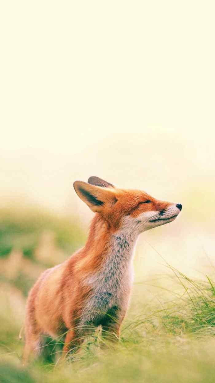 草原上的小狐狸手机壁纸