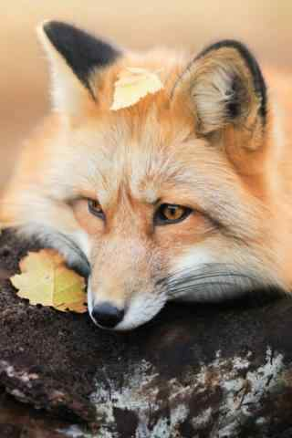 好看的狐狸手机锁屏壁纸