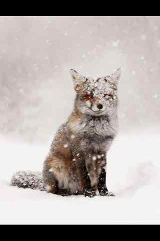 雪地里的小狐狸手机壁纸