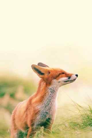 草原上的小狐狸手