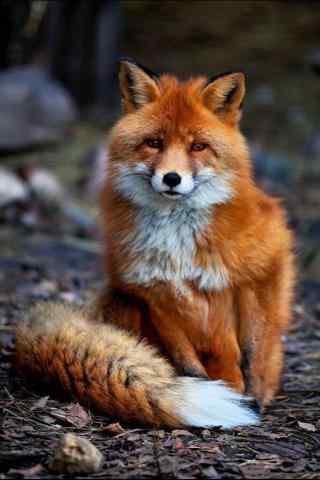 乖巧呆萌的狐狸手
