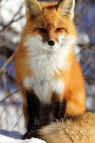 可爱的狐狸手机壁