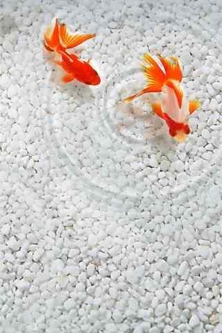 小金鱼可爱手机壁纸