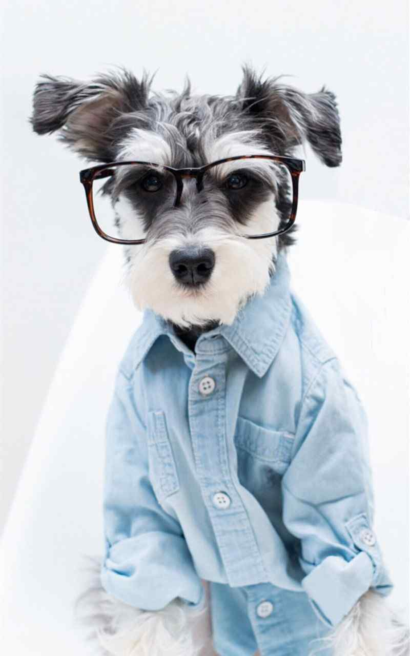 狗狗手机壁纸精选可爱宠物狗雪纳瑞图片手机壁纸下载