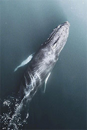 海洋中的须鲸唯美