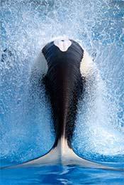 唯美鲸鱼尾巴卷起
