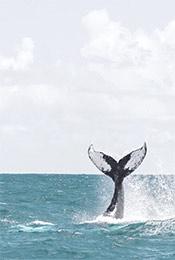 鲸鱼尾巴卷起水浪