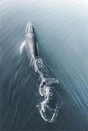 鲸鱼水面换气高清