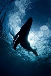 水中嬉闹的鲸鱼高