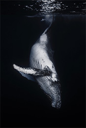 鲸鱼黑白高清手机