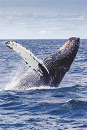 翻出海面的抹香鲸