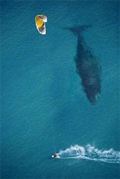 进入浅海的鲸鱼与