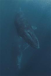 深海中的鲸鱼高清