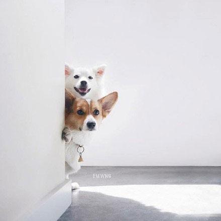 可爱的柯基犬们简约手机壁纸