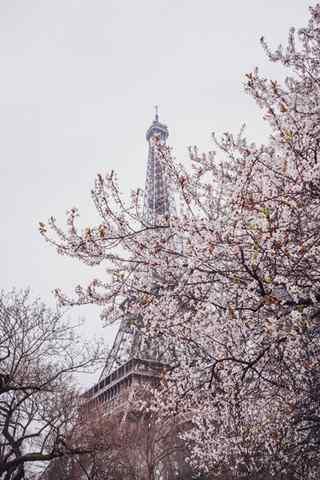 法国浪漫樱花与埃菲尔铁塔手机壁纸