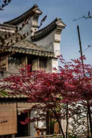 南浔的唯美秋天之红色枫叶风景手机壁纸