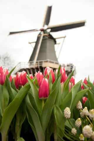 荷兰的美丽郁金香与风车手机壁纸
