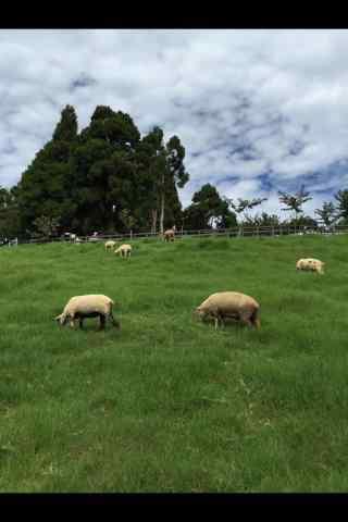 农场上的可爱小羊手机壁纸