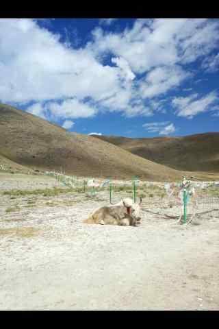羊卓雍错特色藏区牦牛图片手机壁纸