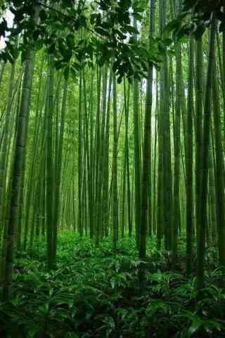 青翠竹林手机壁纸