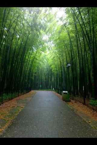 清晨的竹林风景手机壁纸