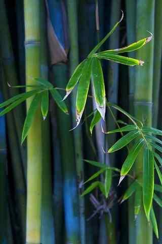 翠绿竹林风景手机壁纸