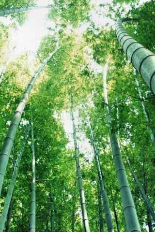 清新的竹林手机壁纸