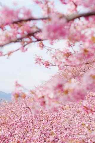 唯美粉色桃花林手