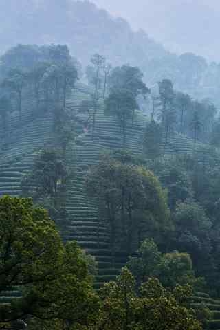 谷雨习俗-小清新谷雨茶林风景手机壁纸