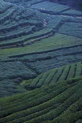 谷雨习俗-谷雨茶茶林风景手机壁纸