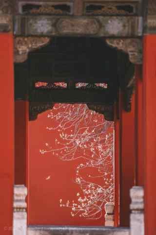 故宫深处的杏花树手机壁纸